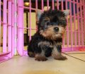yorkie puppies for sale georgia (20)