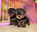 yorkie puppies for sale georgia (25)