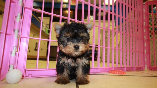 Nice, Yorkshire Terrier Puppies For Sale Near Atlanta, Georgia