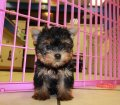 yorkie puppies for sale georgia (34)