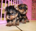 yorkie puppies for sale georgia (35)