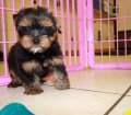 yorkie puppies for sale georgia (5)