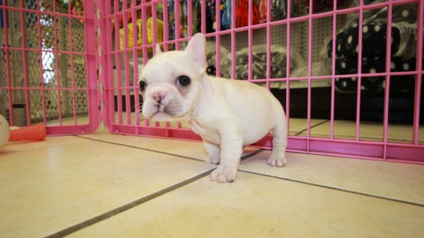 Good Looking Cream French Bulldog Puppies For Sale In Georgia At Puppies For Sale Local Breeders
