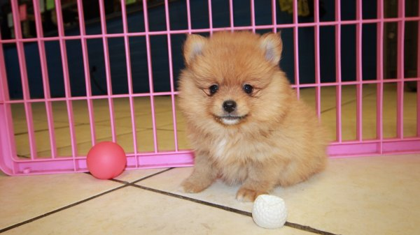 Cute Red, Pomeranian Puppies For Sale In Ga at - Puppies ...