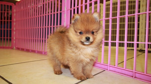 Cute Red Pomeranian Puppies For Sale In Ga At Puppies