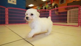 bichonpoo puppies for sale georgia local breeders