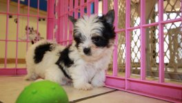Teacup Black and White Yorkie puppies for sale georgia local breeders