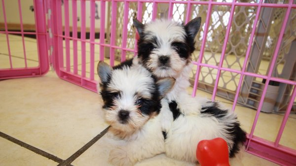 Cuddly, Yorkshire Terrier Puppies For Sale In Georgia at