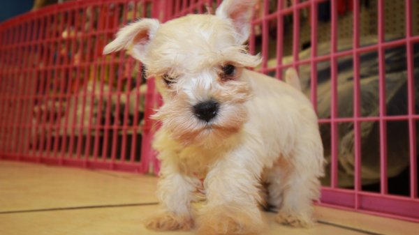 Cute White Miniature Schnauzer Puppies For Sale Near Atlanta Ga At Puppies For Sale Local