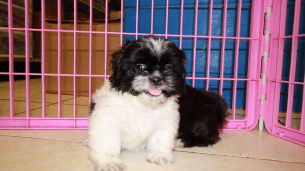 Eye Catching Black Shih Tzu Puppies For Sale In Georgia At