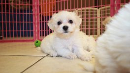 Maltichon, Maltese Bichon Frise Puppies for sale georgia local breeders