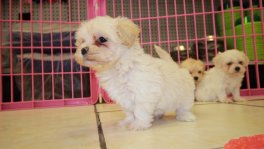 cream shihpoo shih tzu poodle puppies for sale puppies for sale Georgia Local Breeders