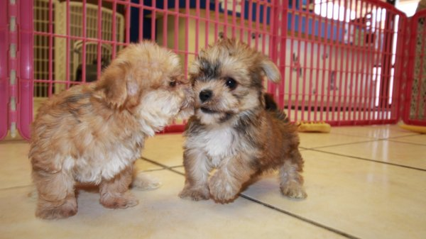 Special Gold Morkie Puppies For Sale in Georgia