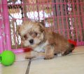 GOLD MORKIE PUPPIES FOR SALE IN GEORGIA (8)