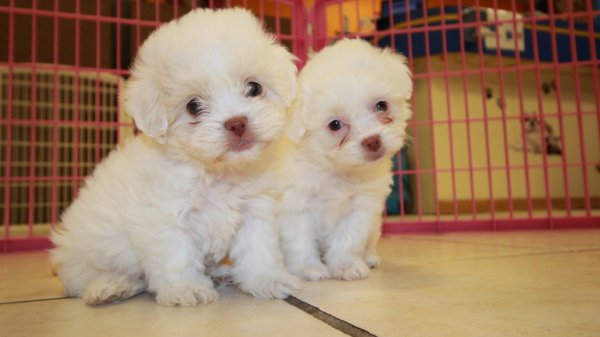 Cute White Malti Poo Puppies for Sale Georgia