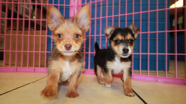 Cute Chorkie Puppies For Sale in Georgia