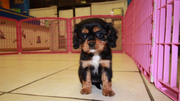 Beautiful Black & Tan, Cavalier King Charles Spaniel Puppies For Sale in Ga