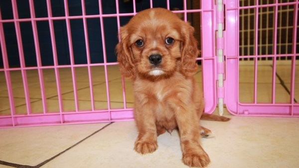 Sweet Ruby, Cavalier King Charles Spaniel Puppies For Sale In Ga