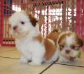 ORANGE SHIH TZU PUPPIES FOR SALE IN GEORGIA (17)