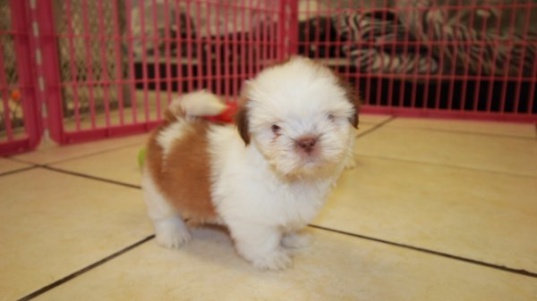Sweet Orange & White, Shih Tzu Puppies For Sale In Georgia