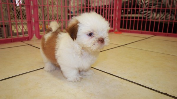 Sweet Orange & White, Shih Tzu Puppies For Sale In Georgia