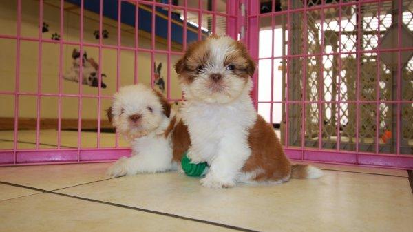 Sweet Orange White Shih Tzu Puppies For Sale In Georgia At