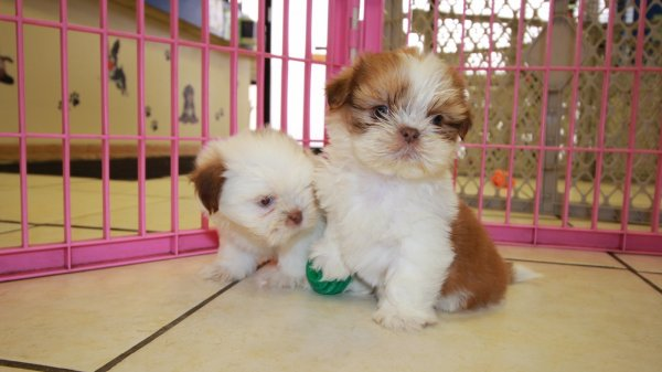 Sweet Orange White Shih Tzu Puppies For Sale In Georgia At