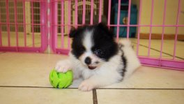 Maltipom maltese pomeranian puppies for sale georgia local breeders