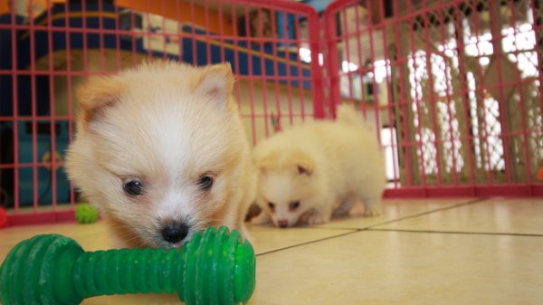 Darling Orange and White MaltiPom Puppies for sale in Ga