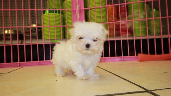 Adorable Teacup Maltese Puppies For Sale in Georgia at