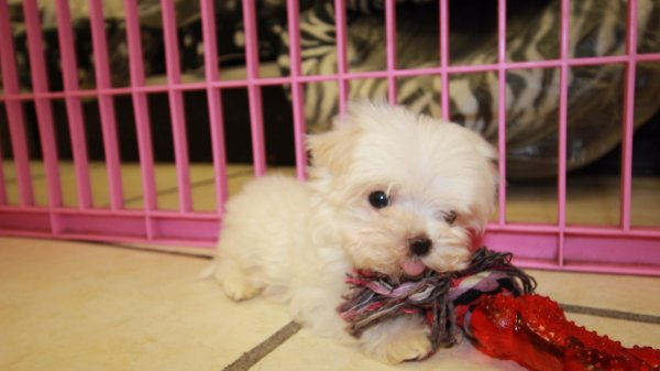 Adorable Teacup Maltese Puppies For Sale in Georgia at - Puppies For