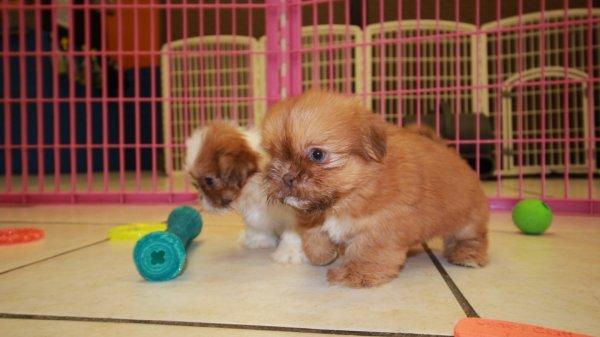 Pretty Red, Shih Tzu Puppies For Sale Near Atlanta, Ga at