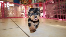 adorable teacup yorkie terrier puppies for sale in atlanta georgia