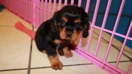 handsome black and tan cavalier king charles spaniel puppies for sale in atlanta georgia