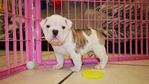 Chunky Little White Brindle, English Bulldog Puppies For
