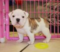 white brindle english bulldog puppies for sale georgia (18)