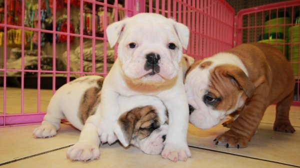 Chunky Little White Brindle, English Bulldog Puppies For Sale In Georgia