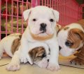 white brindle english bulldog puppies for sale georgia (36)