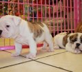 white brindle english bulldog puppies for sale georgia (40)