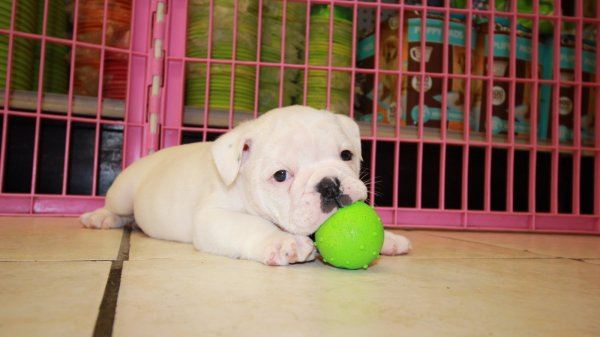 Chunky Little White Brindle English Bulldog Puppies For Sale In Georgia At Puppies For Sale