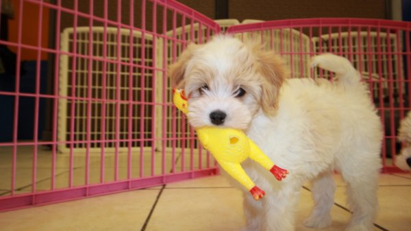 Charming Cavachon puppies for sale atlanta georgia at