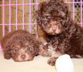 DARK CHOCOLATE BROWN TOY POODLE PUPPIES FOR SALE IN ATLANTA GEORGIA (14)