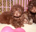 DARK CHOCOLATE BROWN TOY POODLE PUPPIES FOR SALE IN ATLANTA GEORGIA (15)