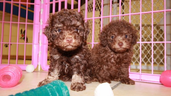 Adorable Dark Chocolate, Brown, Toy Poodle Puppies For Sale In Georgia