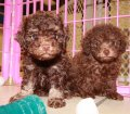 DARK CHOCOLATE BROWN TOY POODLE PUPPIES FOR SALE IN ATLANTA GEORGIA (2)