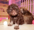 DARK CHOCOLATE BROWN TOY POODLE PUPPIES FOR SALE IN ATLANTA GEORGIA (8)