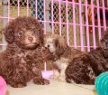 DARK CHOCOLATE BROWN TOY POODLE PUPPIES FOR SALE IN ATLANTA GEORGIA (9)