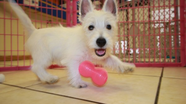 Playful Westie Terrier Puppies For Sale in Georgia