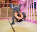 blue french bulldog puppies for sale in georgia (28)