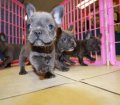blue french bulldog puppies for sale in georgia (29)